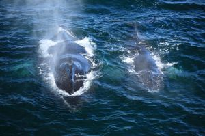 Humpback Mother and calf (Megaptera novaeangliae)