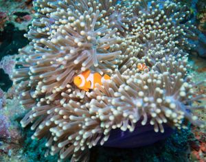 Anemone Clownfish (Amphiprion ocellaris)-
