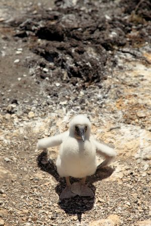 Baby-Blue-Footed-Booby-(Sula nebouxii)