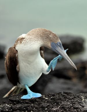 Blue-Footed-Booby (Sula nebouxii)