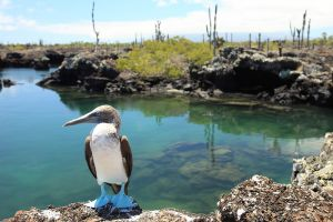Blue Footed Booby (Sula nebouxii)