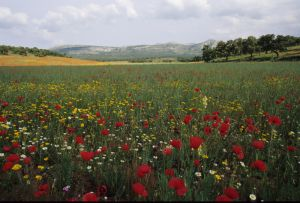 Poppy Field, Ronda, Malaga, Spain