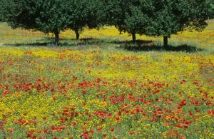 Spanish Wildflowers, Seville, Spain