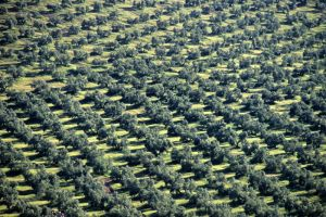 Olive Trees, Cadiz, Spain.
