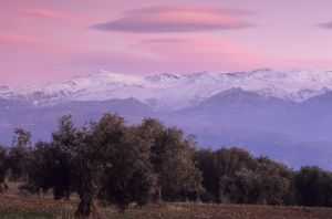 Sierra Nevada and olive trees, Granada, Spain