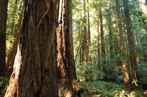 John-Muir-Woods NP, California