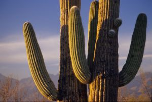Saguaro National Park, Tuscon, Arizona